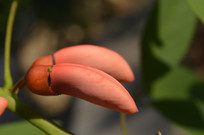 鸡冠刺桐花苞近拍图