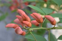 鸡冠刺桐花苞摄影图