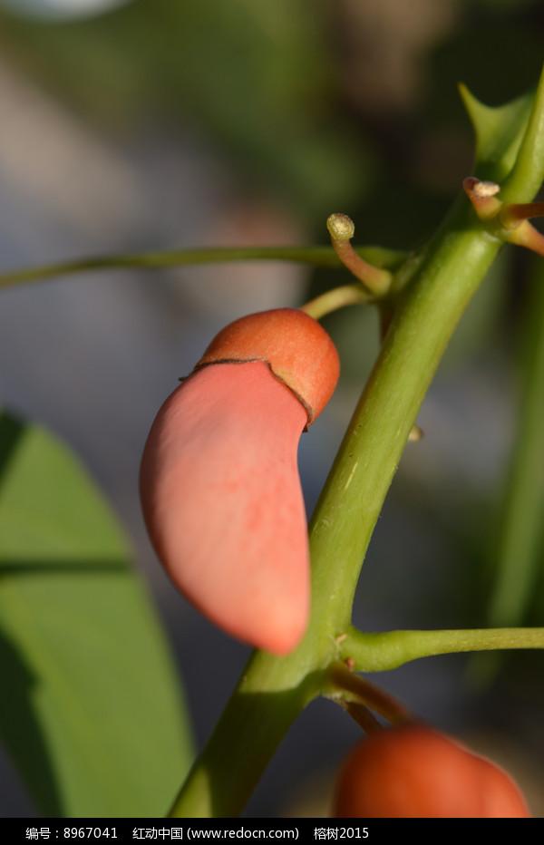 鸡冠刺桐花苞特写图片