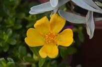 金黄色太阳花
