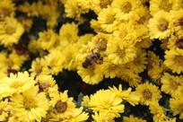菊花上的小蜜蜂