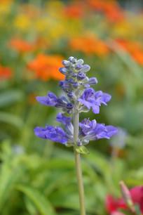 蓝花鼠尾草花朵图片