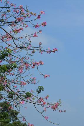 蓝天美丽异木棉花枝