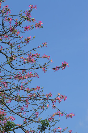 蓝天下开花的美丽异木棉