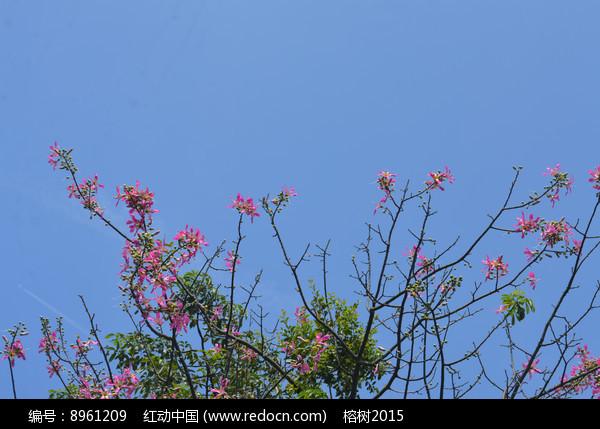 蓝天与美丽异木棉花枝图片