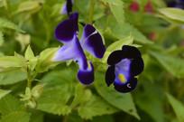 蓝紫色花朵兰猪耳