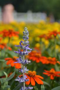 蓝紫色鼠尾草花朵