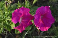 两朵盛开的红色碧冬茄花朵