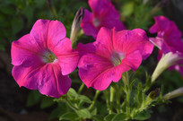 两朵洋红色碧冬茄花朵