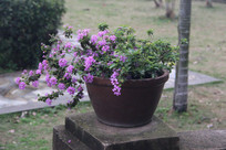 路边一盆紫色小花