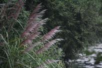 茅家埠水潭边芦苇