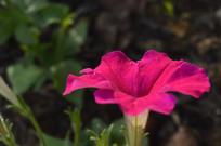 玫瑰红色花朵碧冬茄