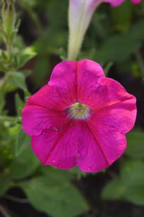 玫红色碧冬茄花朵