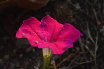 玫红色花朵碧冬茄