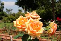 美丽的玫瑰