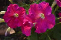 三朵玫红色花朵碧冬茄