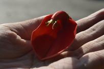 手中一朵红色鸡冠刺桐花