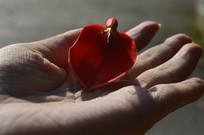 手中一朵鸡冠刺桐花