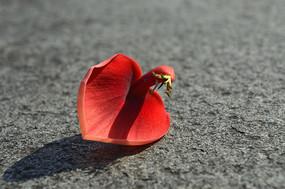 似心形的红色鸡冠刺桐花