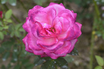 桃红混合色月季花