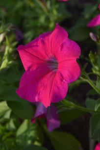 鲜艳玫红色花朵碧冬茄