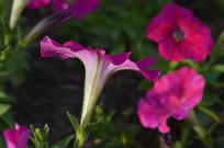 洋红色碧冬茄花朵图