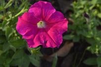洋红色碧冬茄花朵图片