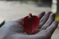 一朵红花鸡冠刺桐