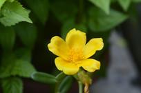 一朵黄色环翅马齿苋花