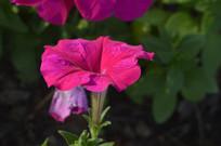 一朵盛开的红色碧冬茄花朵