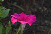 造景花卉红色碧冬茄