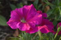 绽放的玫红色花朵碧冬茄