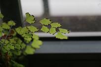 窗前的铁线蕨叶子