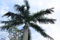 高大的椰树