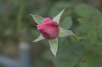 红色玫瑰花花苞近焦摄影