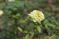 黄色花朵月季近慑图片
