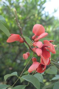 鸡冠刺桐红色花苞