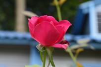 玫红色玫瑰花近摄图片