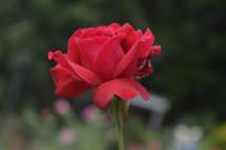 浓红色玫瑰花近焦摄影
