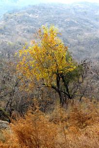 山区一棵长满黄色叶子的独立树