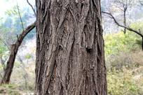 山中老槐树树皮纹路