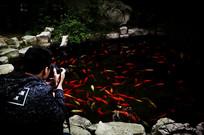 摄影红鲤鱼池塘
