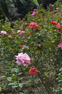 五颜六色的月季花花丛