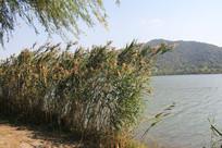 湘湖碧水与岸边芦苇