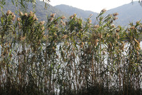 湘湖与岸边芦苇