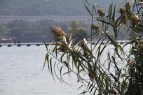 湘湖与芦苇