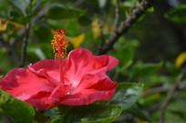 一朵红色状元红花朵