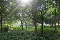 幽静的树林