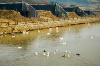 池塘白鹅农业大棚