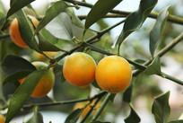 挂在枝头的金黄色金桔